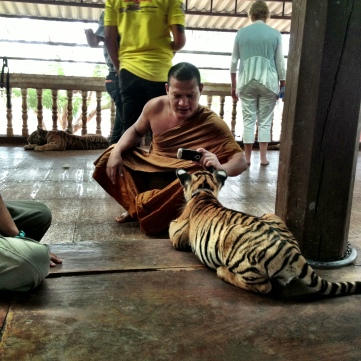 A monk taking a picture of the baby tigers!